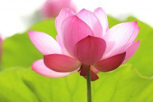 tuintip-4-lotus.jpg